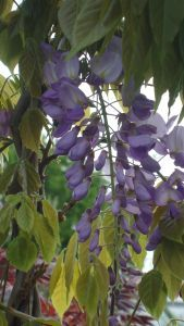 Wisteria Sinensis, climbing plants, Paramount Plants and Gardens, specialist plant nursery and online shop, UK.