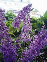 Butterfly Bush or Buddleia Acts as a Magnet for Butterflies and Hummingbirds in Sunny Flowerbed Garden Designs