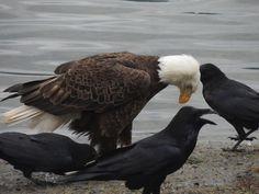 Eagles and Ravens via Jags Beanstalk FB