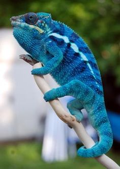 Panther Chameleon – photo by silverdusk Panther Chameleon – photo by silverdusk,BUKALEMUN Panther Chameleon – photo by silverdusk Reptiles Et Amphibiens, Cute Reptiles, Mammals, Reptiles Preschool, Funny Lizards, Chameleon Care, Chameleon Lizard, Baby Chameleon, Colorful Lizards