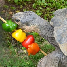 Give your tortoise a variety of peppers! Pepper Tortoise Kabob Treat - PetDIYs.com