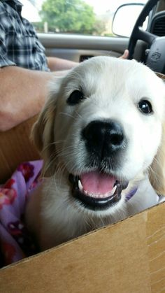 Bailey on her way to her new home. English Cream Golden Retriever.