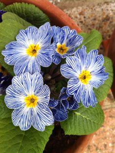 Primula for winter color