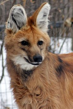 Maned Wolf by: (Courtney McNealy)  this unique animal, it is a wolf in name only. It is however a canid, and therefore related to the wolf.