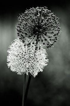 Black & White art. Fireworks Envy by bikeracer, via Flickr