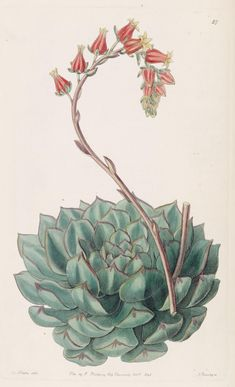v. 26 (1840) - Edwards's botanical register. - Biodiversity Heritage Library - Hens and Chicks, flowering.