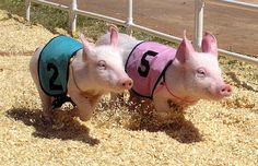 Pig Racing, at the Alameda County Fair, photo by K Hardy @Flickr
