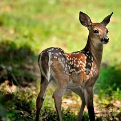 Fawn Toddler Photograph by Nava Jo Thompson - Fawn Toddler Fine ...