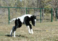 Horses and writing  collide with the Blog for Parnell's Irish Cobs.