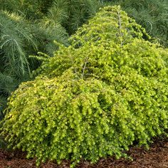 Must-Grow New Shrubs, Trees, and Vines for 2014. Hemlock -Evergreen Tree.