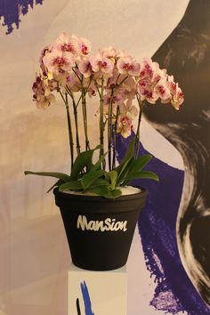#mansion #phalaenopsis #orchid by #Sion