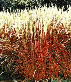 """Ziergras """"Indian Summer"""",1 Pflanze im Mein Schöner Garten Shop"""
