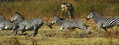 Safari to Time and Tide Luwi with Africa Travel Resource Mountain Zebra, Time And Tide, Small Group Tours, African Safari, East Africa, Africa Travel, Zebras, National Parks, Animales