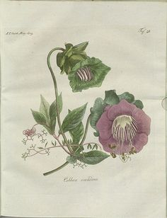 Cobbea scandens-hand-coloured engravings 1809