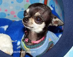 worlds cutes famous chihuahua-this dog looks just like our Chloe