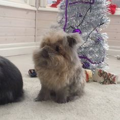 "154 mentions J'aime, 4 commentaires - Melvin  Bianca  (@bunnymelv) sur Instagram : ""New haircut and she's now ready for a Christmas photo shoot """