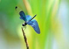 nice Blue Dragonfly Background Picture