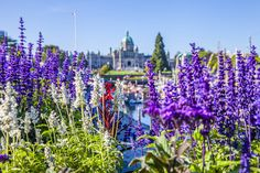 Victoria's Inner Harbour in all its glory. Known as Canada's Garden Capital the city wows with hanging flower baskets, flowers and stunning cherry blossoms. #exploreVictoria #flower #VictoriaBC #exploreBC #exploreCanada | www.tourismvictoria.com