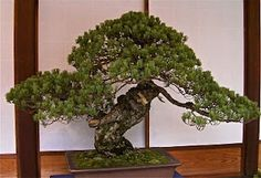 One of the oldest living bonsai trees known. Cared for by the Shogun of japan in the 1600's. Named Sandai-Shogun-No Matsu.