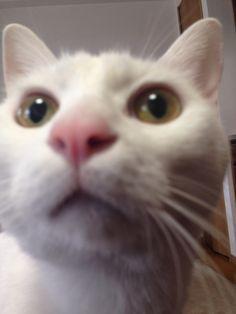 hey,thats my treat!hey! #cat #pet #petsitter #setagayaku #cute #かわいい #猫 #白猫