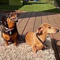 Los Angeles Ca Labrador Retriever Meet Lena A Pet For Adoption