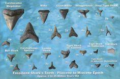 Shark Teeh Facts