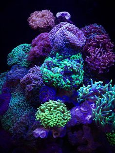Coral,  Euphyllia ancora, under special lighting.