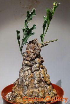 Cephalopentandra ecirrhosa