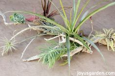 An Easy Piece Of Art With Driftwood, Tillandsias & Succulents - living art to hang or grace a table
