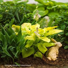We love the lime green foliage of this hosta. Really stands out next to other dark green hostas or other shade plants. We love the lime green foliage of this hosta. Really stands out next to other dark green hostas or other shade plants. Hosta Plants, Plantain Lily, Plants, Plant Lover, All Plants, Container Plants, Hosta Care, Fall Plants, Shade Plants