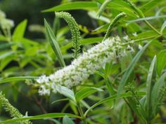 Koromiko, Hebe strictaKoromiko is widespread throughout New Zealand. An infusion of the leaves was used as an astringent for dysentery. Poultices were used for ulcers. It was considered good for the kidney and bladder, as well as for diarrhoea and as a tonic.