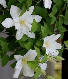 White Clematis Varieties | www.pixshark.com - Images ...