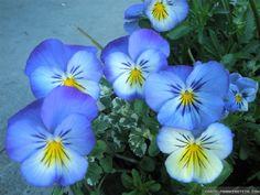 Blue Beautiful Flowers