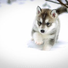 Husky puppies are some of the most adorable creatures to have ever walked the planet. Okay, maybe you knew that one already.