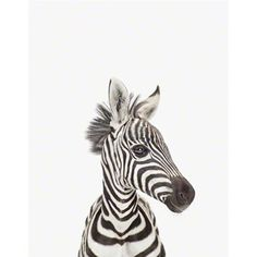Gorgeous baby zebra animal nursery photographic print by Sharon Montrose of the Animal Print Shop - wide range of delightful baby animals prints for your children's wall decor. Cute Baby Animals, Animals And Pets, Funny Animals, Jungle Animals, Animal Print Shop, Animal Prints, Tier Fotos, Belle Photo, Animal Photography