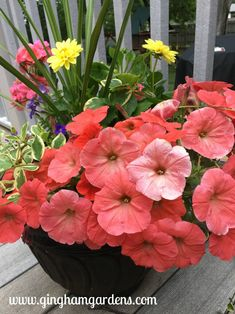 Coral colored Petunias with Yellow Dahlias, Geranium & Variegated Vinca Vine