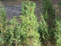 juniperus communis KOTIKATAJA Wiki