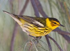 Cape May Warbler, Identification, All About Birds - Cornell Lab of Ornithology  just spotted this beauty on my deck