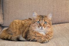 My name is Aja I am a pure breed long haired Bengal I like to play fetch I talk alot I love to eat