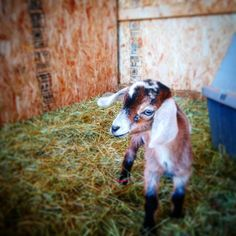 Our new buck at #countryhomefarm!! #handsomegoat #mininubian