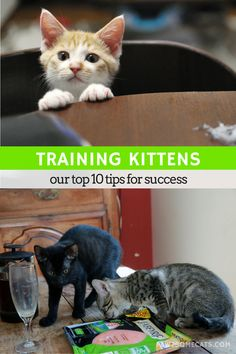 Training kittens can be a challenge - you need to understand how they think to…