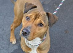 TO BE DESTROYED 3/15/14  Manhattan Center    My name is LIZZIE. My Animal ID # is A0993607.  I am a female tan and white pit bull mix. The shelter thinks I am about 2 YEARS    I came in the shelter as a STRAY on 03/10/2014