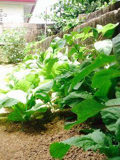 Groenten Lettuce, Cabbage, Vegetables, Vegetable Recipes, Veggie Food, Cabbages, Salad, Collard Greens, Veggies