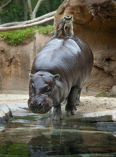 Hippo & Monkey