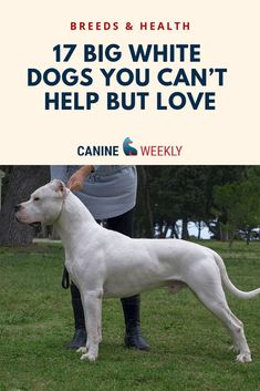 A big white dog is an eye-catching and beautiful animal who draws attention wherever it goes. We take a look at 17 majestic big white fluffy dog breeds here! Top Dog Breeds, Large Dog Breeds, Dogs Funny Husky, Dog Nose, Funny Dog Pictures, Funny Pics, Fluffy Dogs, Cartoon Dog, White Dogs