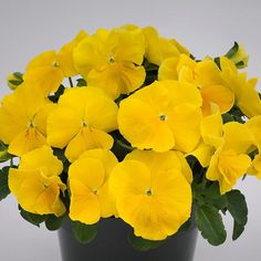 Grandio Clear Golden pansy