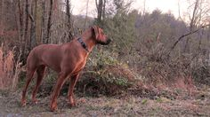 rhodesian ridgeback Koby at the top of the driveway