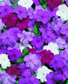 500 Impatiens seeds Impatiens Cascade Beauty Blues Mix