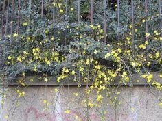 Les trompettes jaunes du jasmin d'hiver ( Jasminum nudiflorum ) sont le signe des premiers frémissements de la nature. Les petites corolles jaune vif apparaissent avant les feuilles sur les...