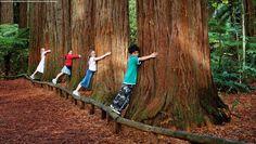 Redwoods in the Whakarewarewa Forest, Rotorua, New Zealand